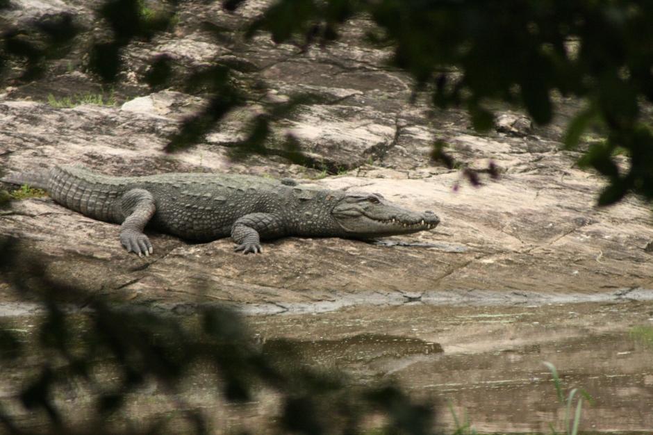 Krokodili brīvā dabā