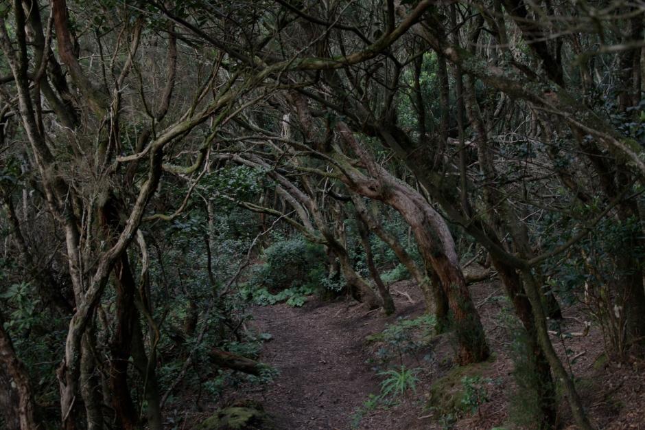 Lauru koku meži