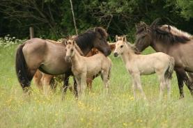 Latvijas zirgi