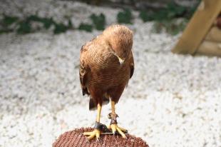 Beļģijas putns