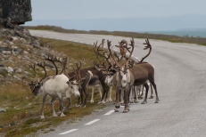 Norvēģijas ziemeļbrieži