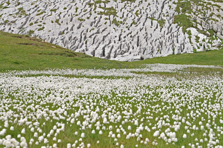 Alpu pūkupuķes