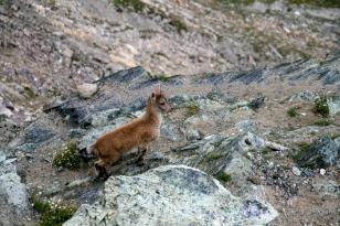 Šveices Alpu kalnu kazlēns