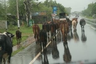Šrilankas govis