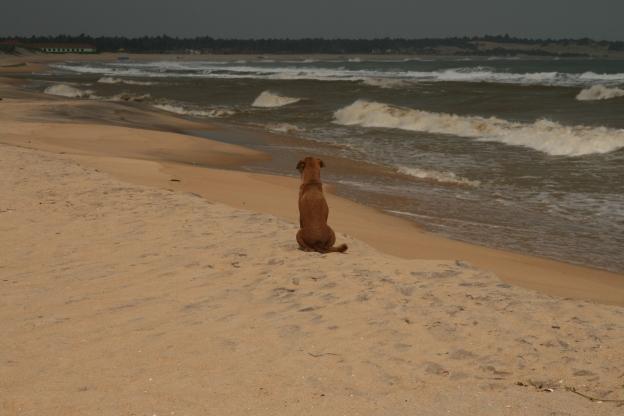 Šrilankas suns