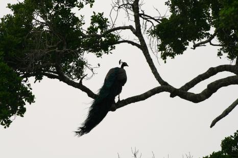 Šrilankas pāvs