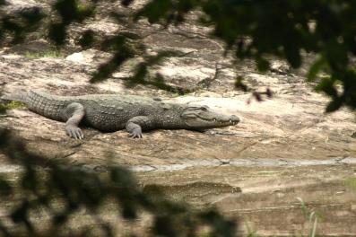 Šrilankas krokodils