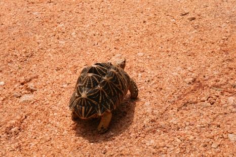 Šrilankas bruņurupucis