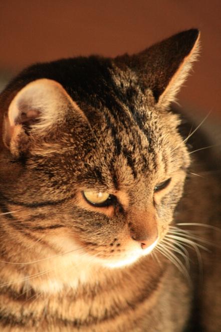 Zviedrijas kaķis