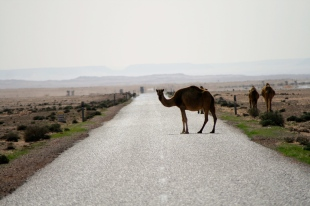 Marokas kamieļi