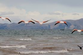 Peru flamingo