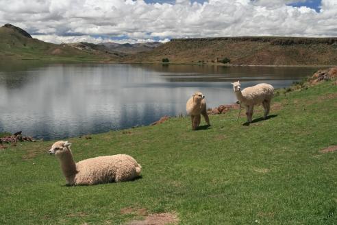 Peru lamas